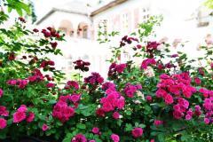 Rosen-mit-Hintergrund-Haus
